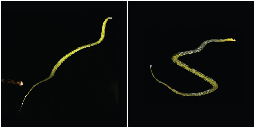 A <em>Chrysopelea paradisi</em> snake flying in the air during experiments in The Cube at Virginia Tech. Left: the snake is fully extended just after take-off from the branch on the left. Right: the snake undulating during flight.