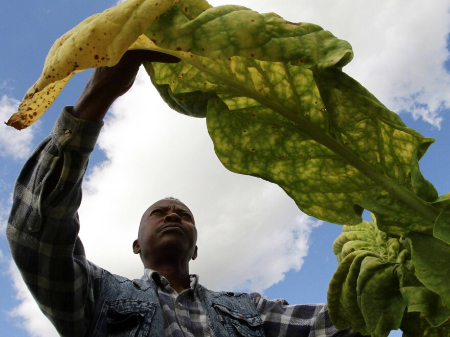 A farm owner inspects his tobacco crop in the sun. While Zimbabwe's tobacco production has made something of a turnaround lately, journalist Peta Thornycroft says much of the country's troubles since 2000 have been tied to failures in its capital-intensive tobacco farms.
