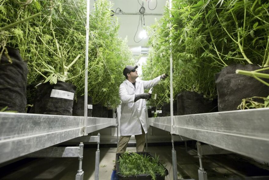 Director Michael Rubin tends to cannabis plants at Compassionate Cultivation