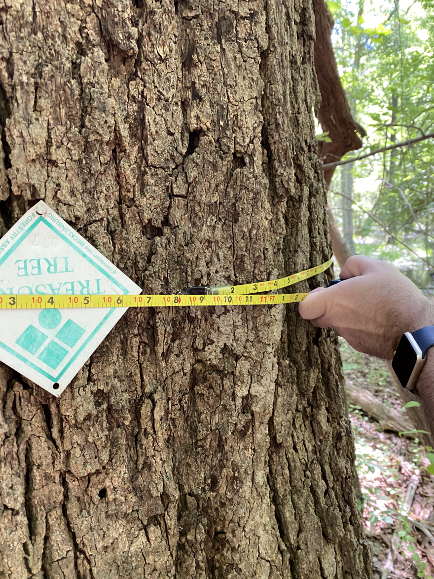 Brett Dupree measures the circumference of Treasure Tree #17, the Overcup Oak.