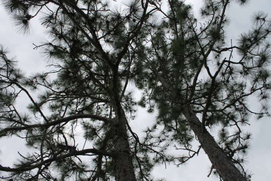 Soaring pine trees and shoulder-high scrub palmetto distinguish Seminole State Forest. Photo by Amy Green