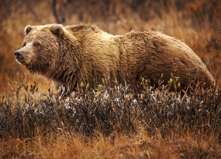 Wyoming Wants To Restore State Management Of Grizzly Bears
