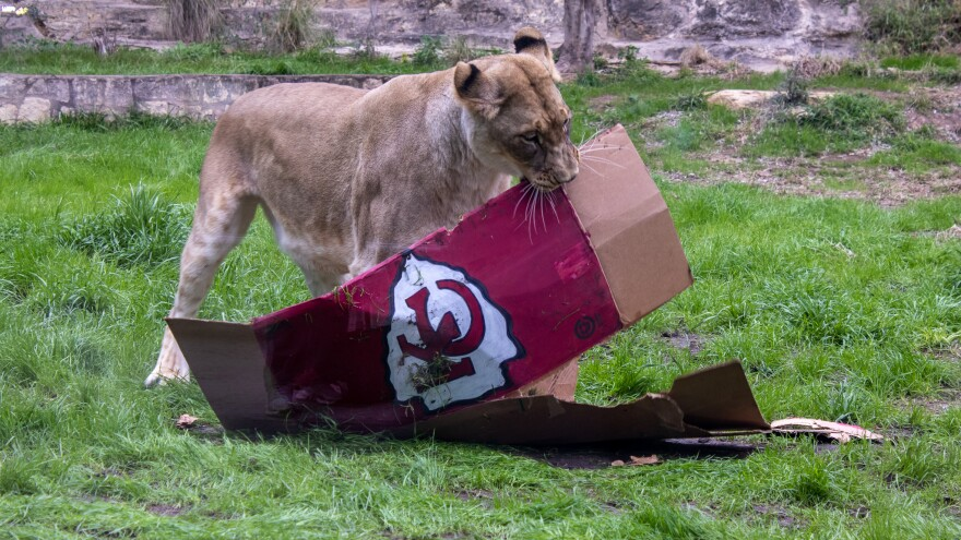 A lioness at the San Antonio Zoo predicted this year's Super Bowl champion. Two boxes painted with the two teams' logos and colors were filled with meat and vegetables and presented to the lioness Thursday morning.