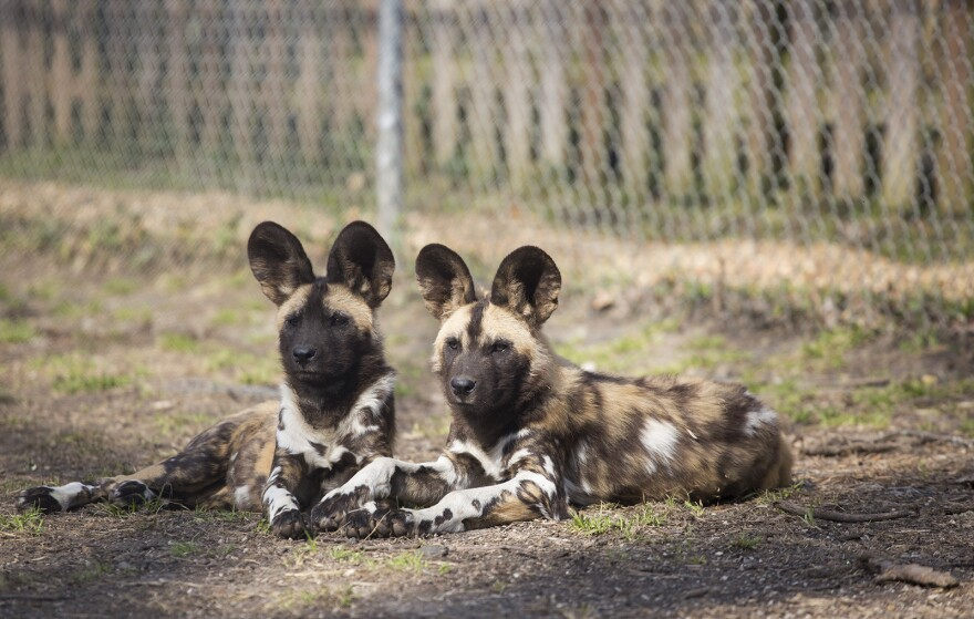 Two African painted dog puppies sit in their enclosure at the Endangered Wolf Center in Eureka.