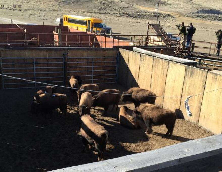 The Stephens Creek holding pen where captured Yellowstone National Park bison are held. File photo from February 2015