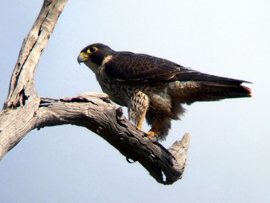 1024px-Peregrine_Falcon_Kobble_Apr07.JPG
