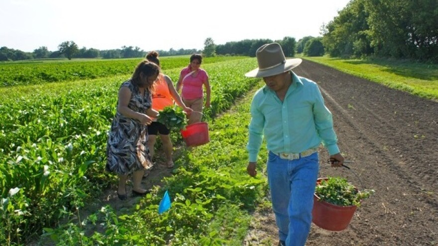 Members of Parroquia's San José Latino ministry glean from the fields of Angelic Organic's farm in Caledonia, Ill.