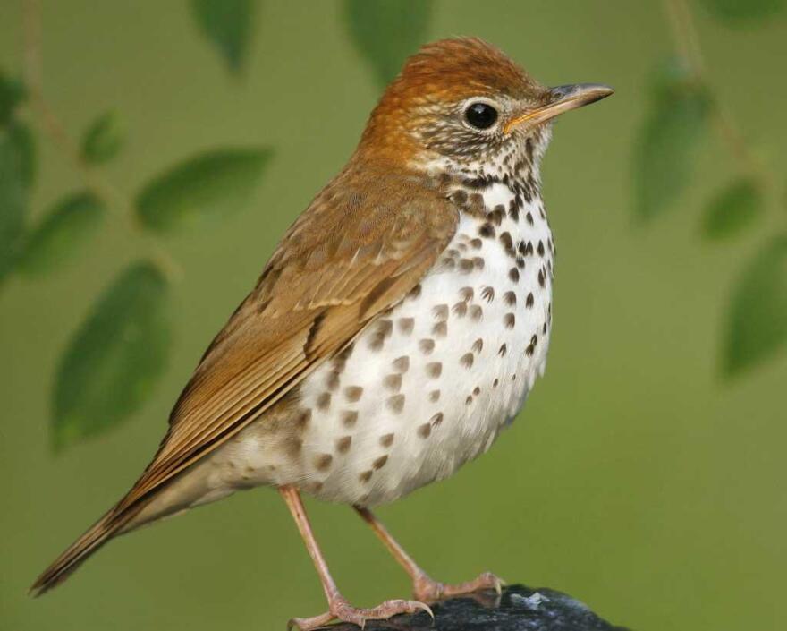 A Wood Thrush bird