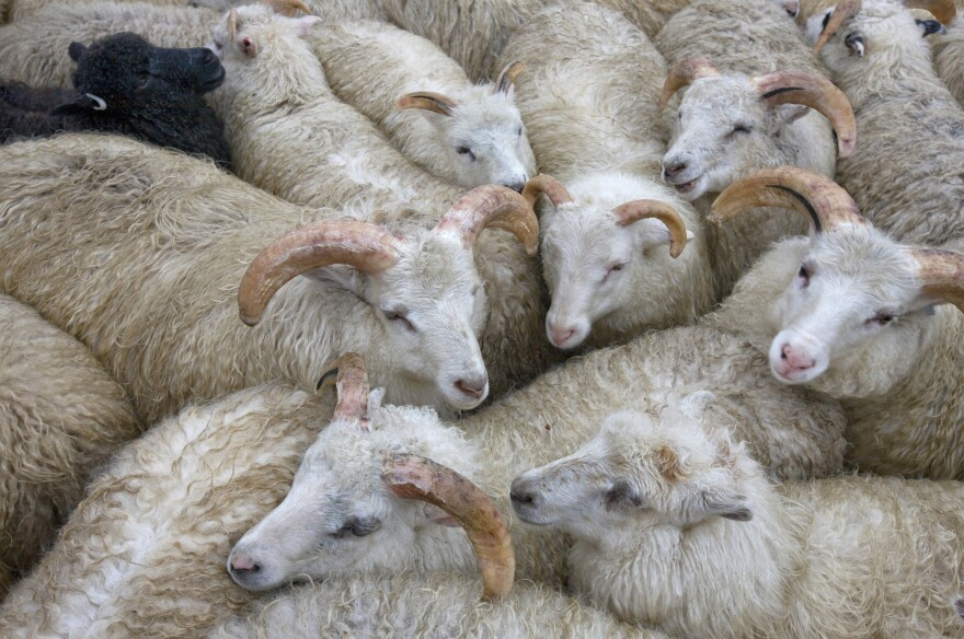 Climate change has made summers in Greenland warmer and drier, leading to a decline in the number of sheep farms on the island.
