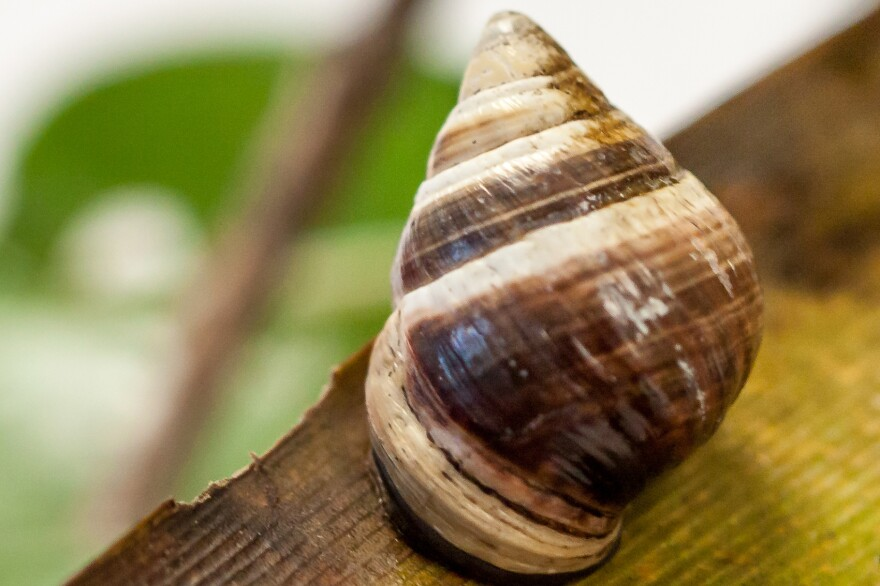 George, a Hawaiian tree snail, died on New Year's Day 2019. He was the last known member of his species alive. (David Sischo/Hawaii Department of Land and Natural Resources)