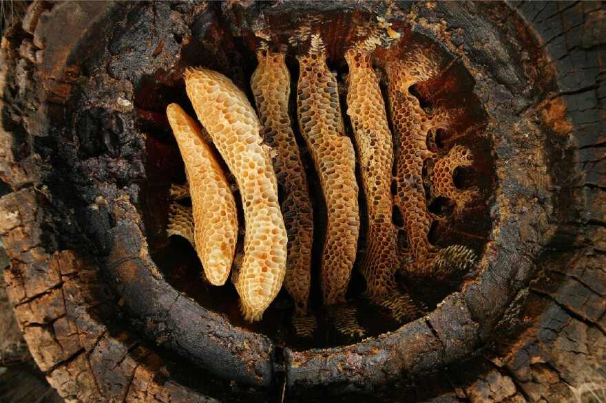 A hollow log hive in the Cevennes region of France reveals the details of circular comb architecture of the Western honeybee. New research shows the partnership between humans and bees goes back to the beginnings of agriculture.