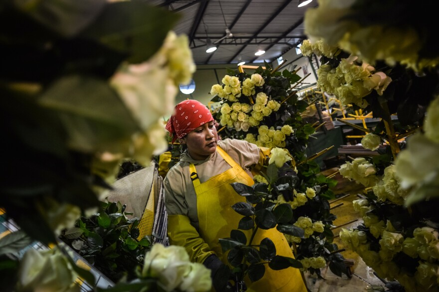 Ecuador is the second-largest exporter of cut flowers to the U.S. Here Consuelo Cabezas, then 33, sorts roses at an industrial farm in Cayambe, Ecuador, in June 2013.