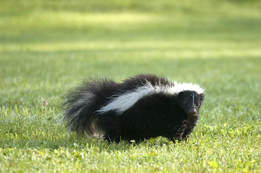 skunk kominyetska.jpeg
