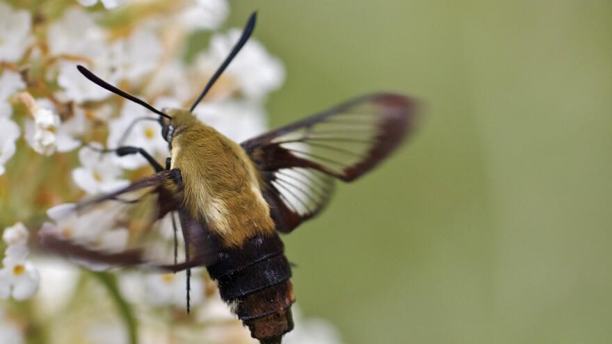Hummingbird moth — <em>Hemaris gracilis</em>