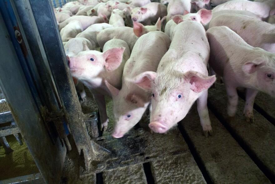 Pigs at a hog barn near Odelbolt, Iowa, sometimes receive antibiotics in their feed.