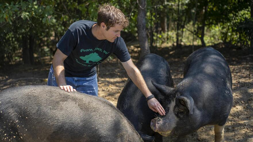 Josh Davis tends to his hog herd on his farm in Pocahontas, Ill. Once a popular breed, there are now only a few hundred American mulefoot hogs left.