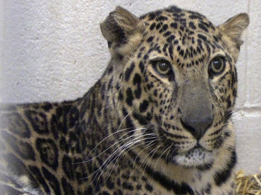<p>This photo provided by the Columbus Zoo and Aquarium shows one of three leopards that were captured by authorities near Zanesville, Ohio.</p>