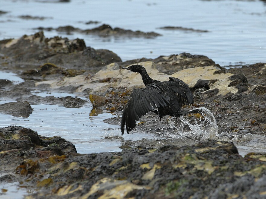 A bird covered in oil flaps its wings at Refugio State Beach, north of Goleta, Calif., on Thursday. More than 9,000 gallons of oil have been raked, skimmed and vacuumed from a spill that stretched across 9 miles of California coast, just a fraction of the sticky, stinking goo that escaped from a broken pipeline, officials said.