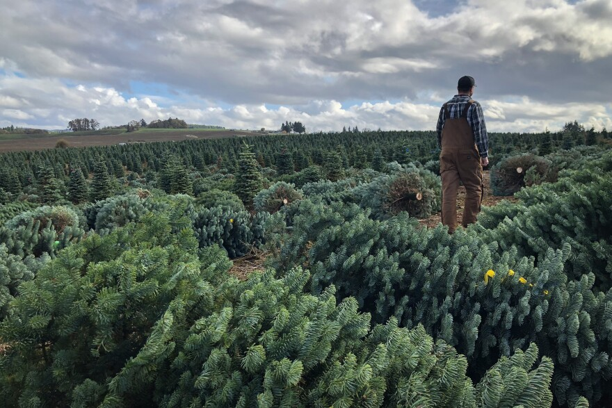 Casey Grogan walks through some recently cut noble fir Christmas trees at his farm near Silverton, Ore. This year he plans to harvest 60,000 trees off his property.