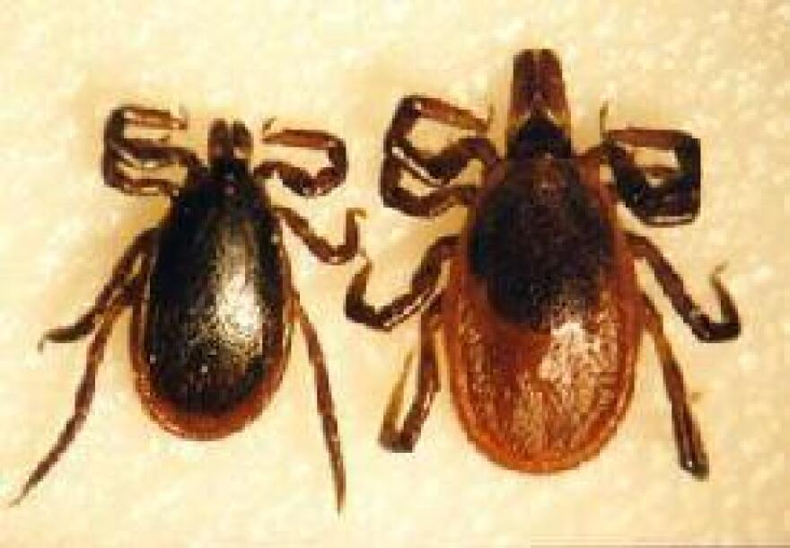 Blacklegged ticks can transmit the bacteria that causes Lyme disease.  These ticks are common in Florida.