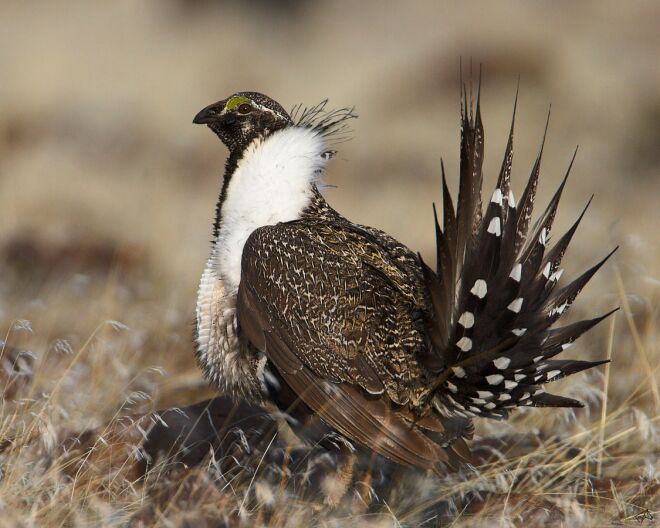 Sage Grouse Populations Continue To Decline