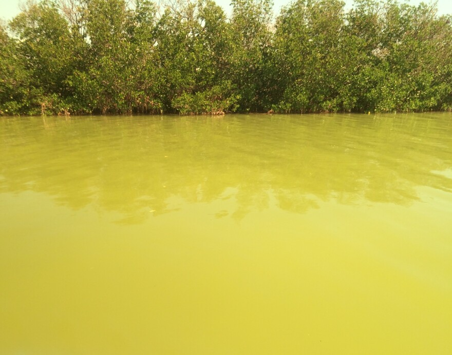 Algae blooms first spotted in Florida Bay three weeks ago have spread widely, researchers say.