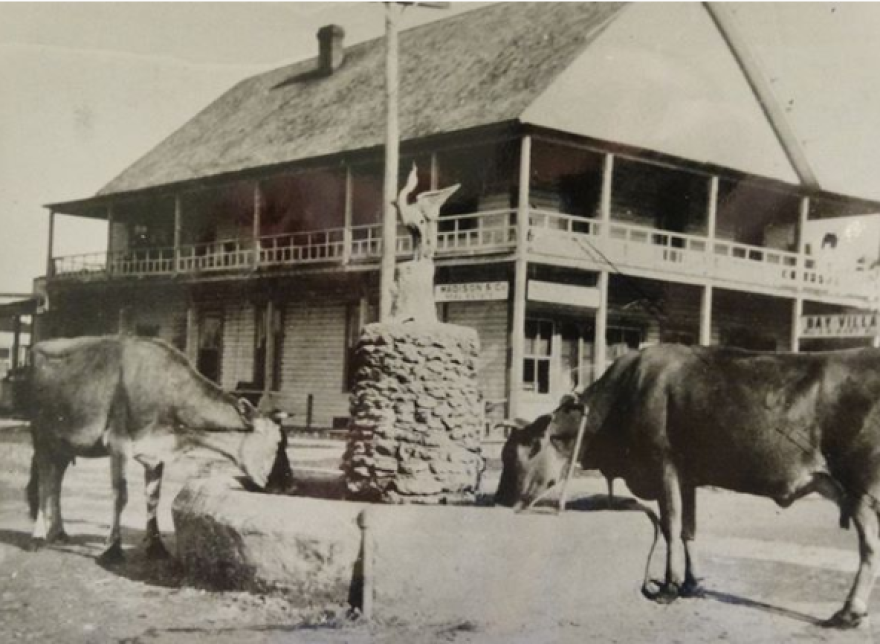 Cows parked downtown in Early 20th century Sarasota