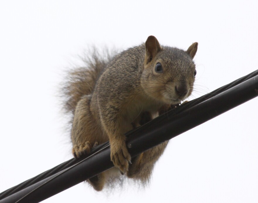 squirrel_on_a_wire.jpg