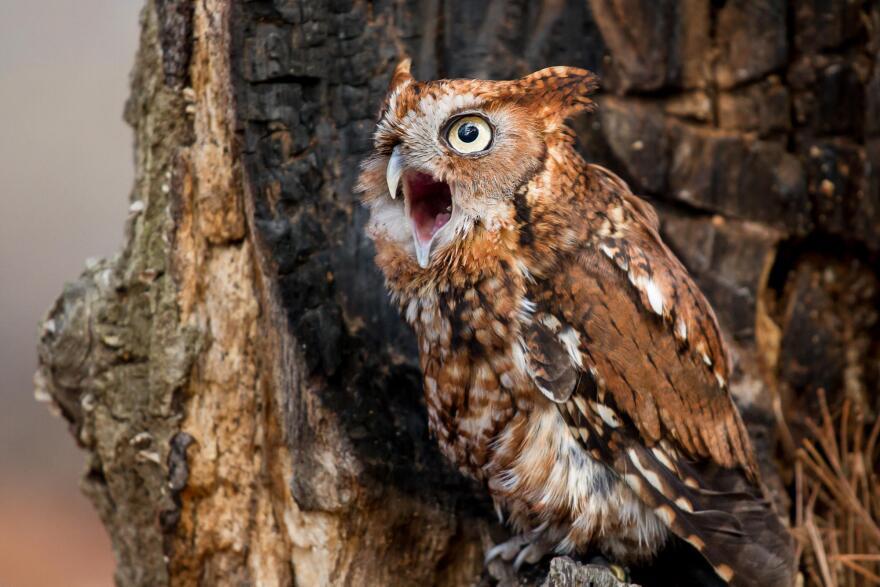 `Eastern Screech Owl