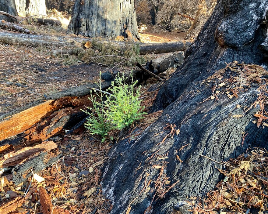 A few months after the devastating wildfire roared through Big Basin Redwoods, new growth is already visible across the charred forest floor and in the canopies of redwoods and other trees.