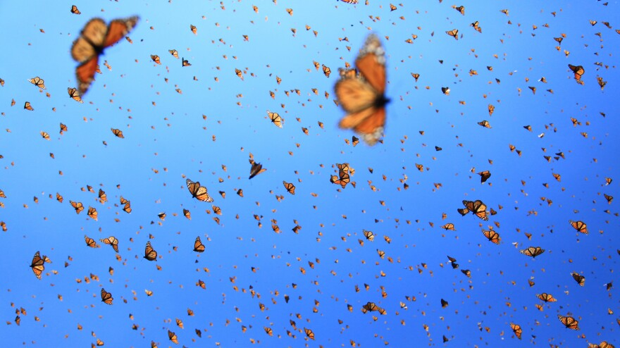 """""""Supergenerations"""" of monarch butterflies migrate over 2000 miles from Canada to Mexico."""