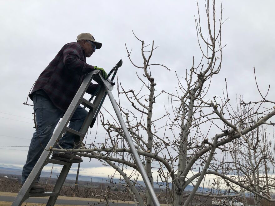 Juan Garcia, 61, of Toppenish, Wash., prunes a pear tree outside of Zillah. Crews are quickly preparing for spring in the Northwest's orchards, but owners worry there might not be a profitable market for their on-the-way fruit such as sweet cherries.