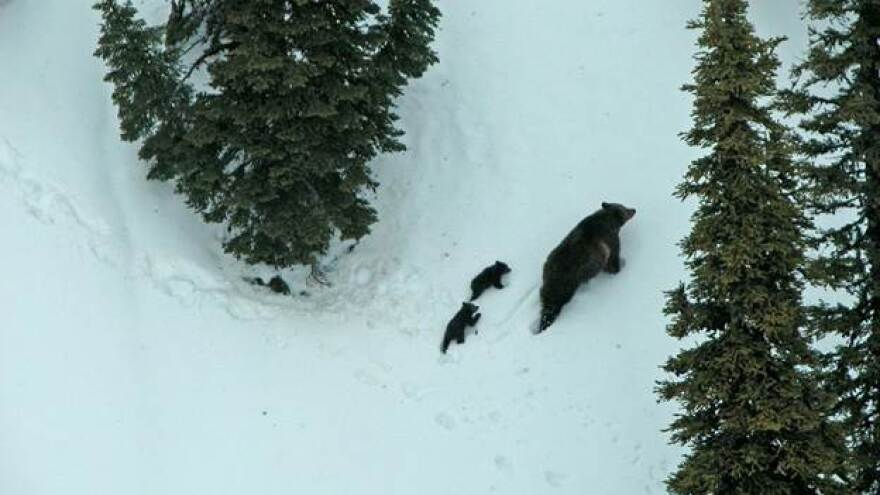 A female grizzly bear with cubs of the year emerges from a den in northwest Montana. FWP File photo.