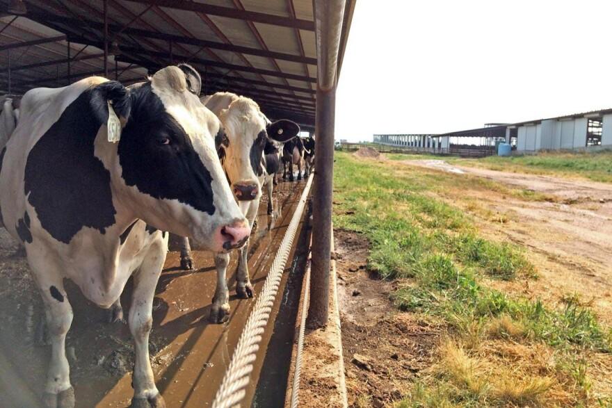 020416_Dairy_cows.jpg