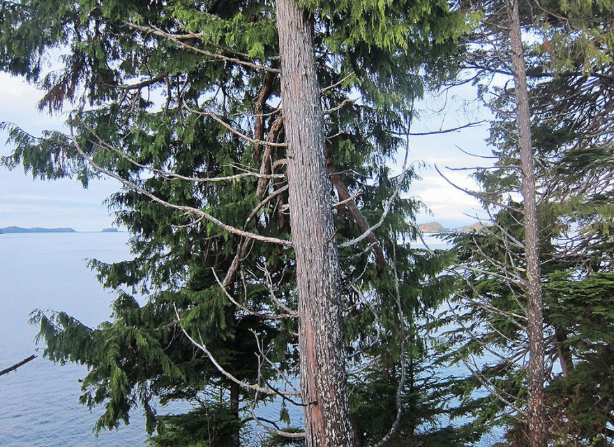 yellow_cedar_trees_looking_rough.png