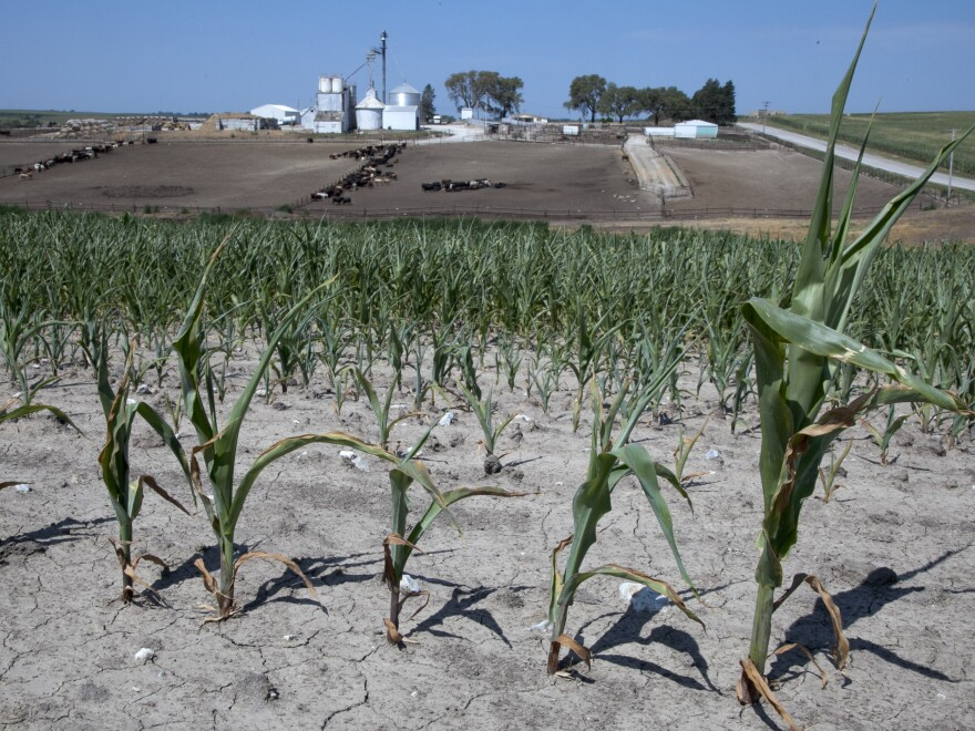 Stunted corn grows in a field next to a cattle feed lot in rural Springfield, Omaha, Neb.