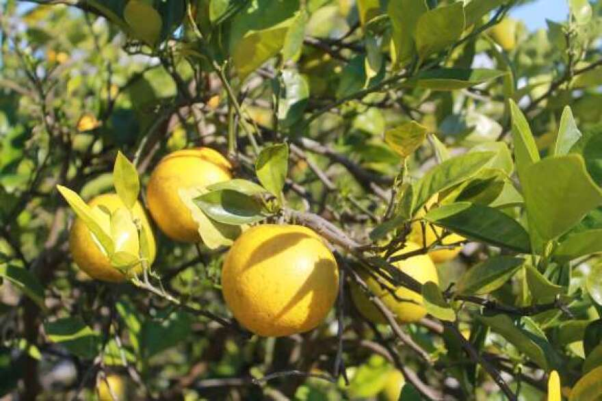 Greening is a disease that weakens citrus trees. The fruit becomes unusable.