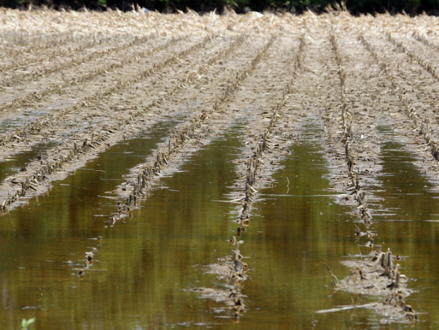 Destroyed corn glistens under floodwater in Yazoo City, Miss., on June 1.