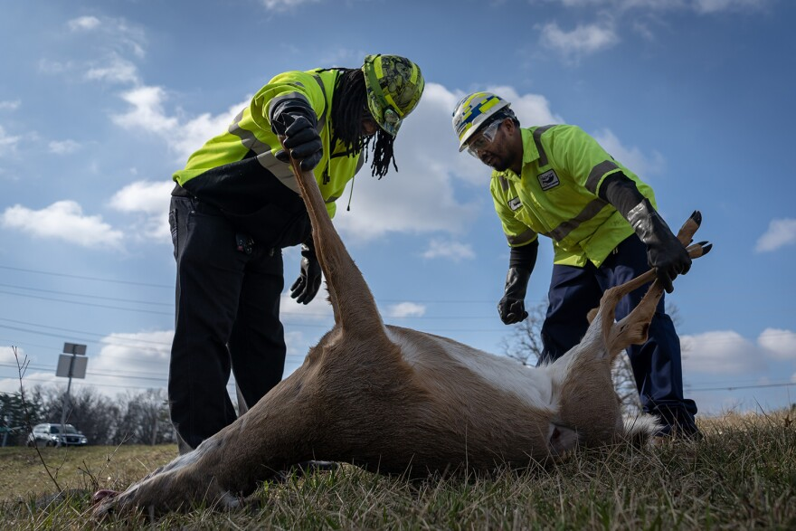 Deon Morris, left, and David Scales examine a deer that was hit by a car. They will transport the deer to a bird sanctuary where it will feed carnivorous birds. March, 2019