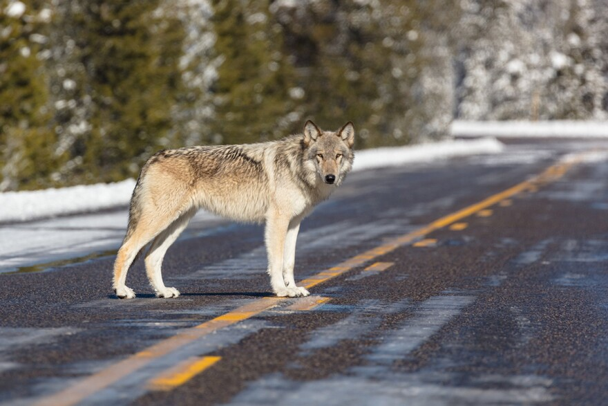 A wolf crosses a road near Artist Paint Pots, Yellowstone National Park, on November 07, 2017.