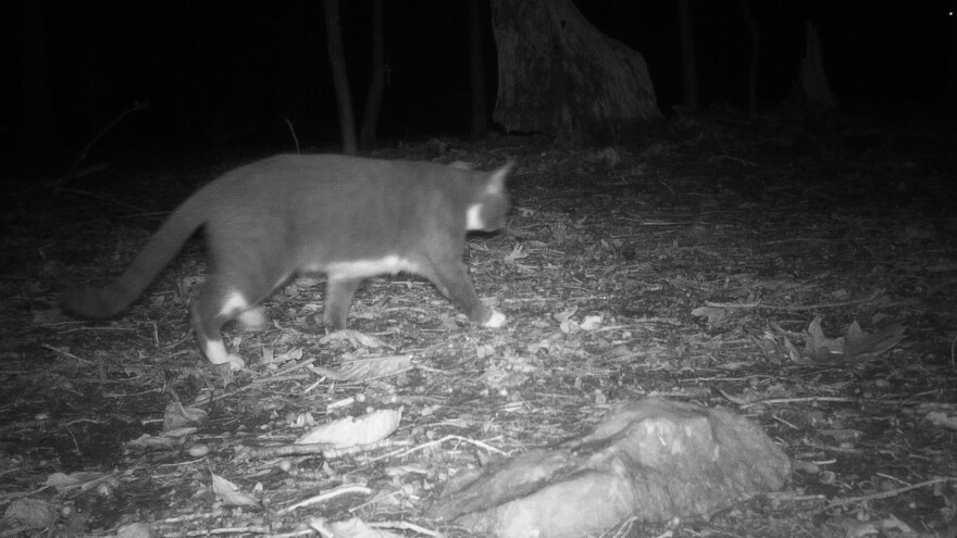 A stealthy feline stalking through D.C.'s Rock Creek Park is caught on a wildlife camera. It's the first cat detected by researchers working on the D.C. Cat Count.