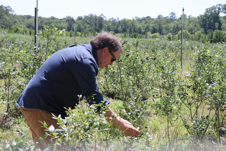 Bud Chiles picks blueberries at his farm.