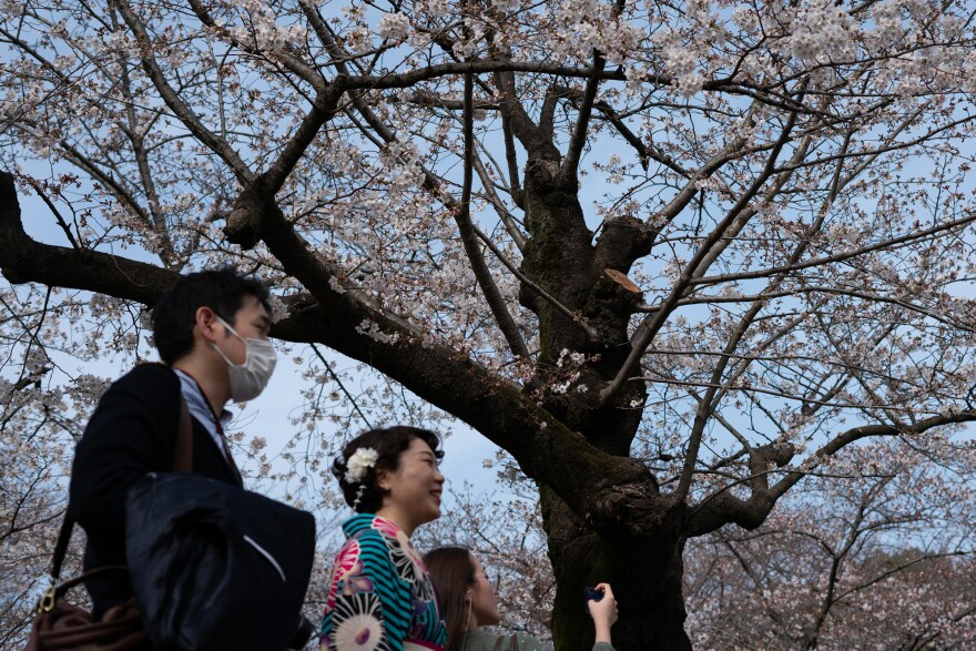 Japan has a long tradition of cherry blossom viewing, or Hanami, which includes picnics with snacks and sake in the park under the trees with friends and family.