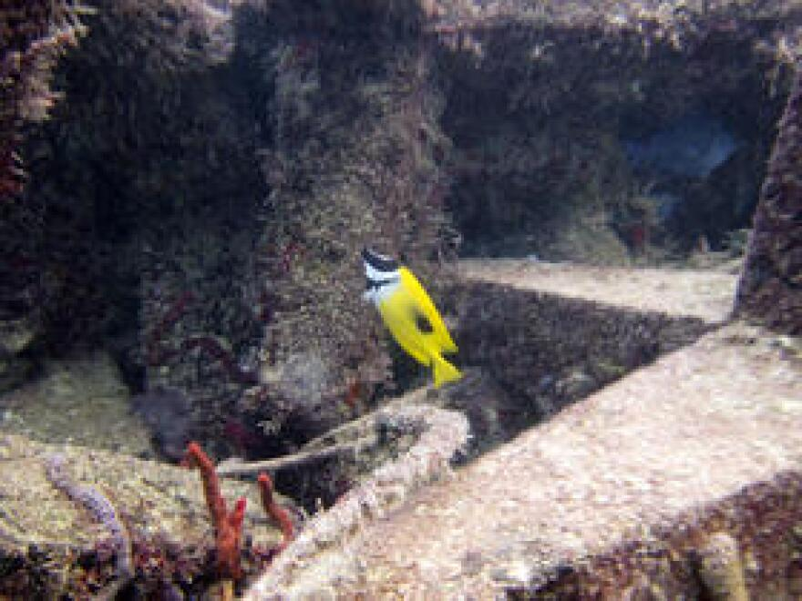 Diver and REEF volunteer Jennifer Wuenschel saw this fish at an artificial reef off Broward County and recognized it as being out of place. The next day, a rapid response team removed it from the water.