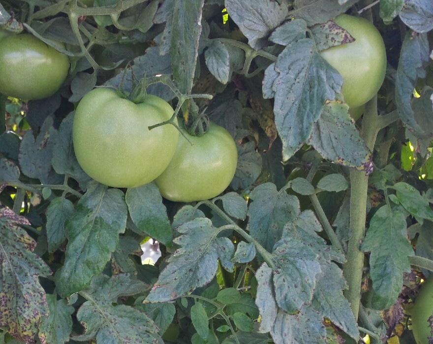 The disease bacterial spot in tomatoes shows up on leaves and makes them susceptible to the elements, ultimately reducing the annual harvest. Courtesy/UF-IFAS