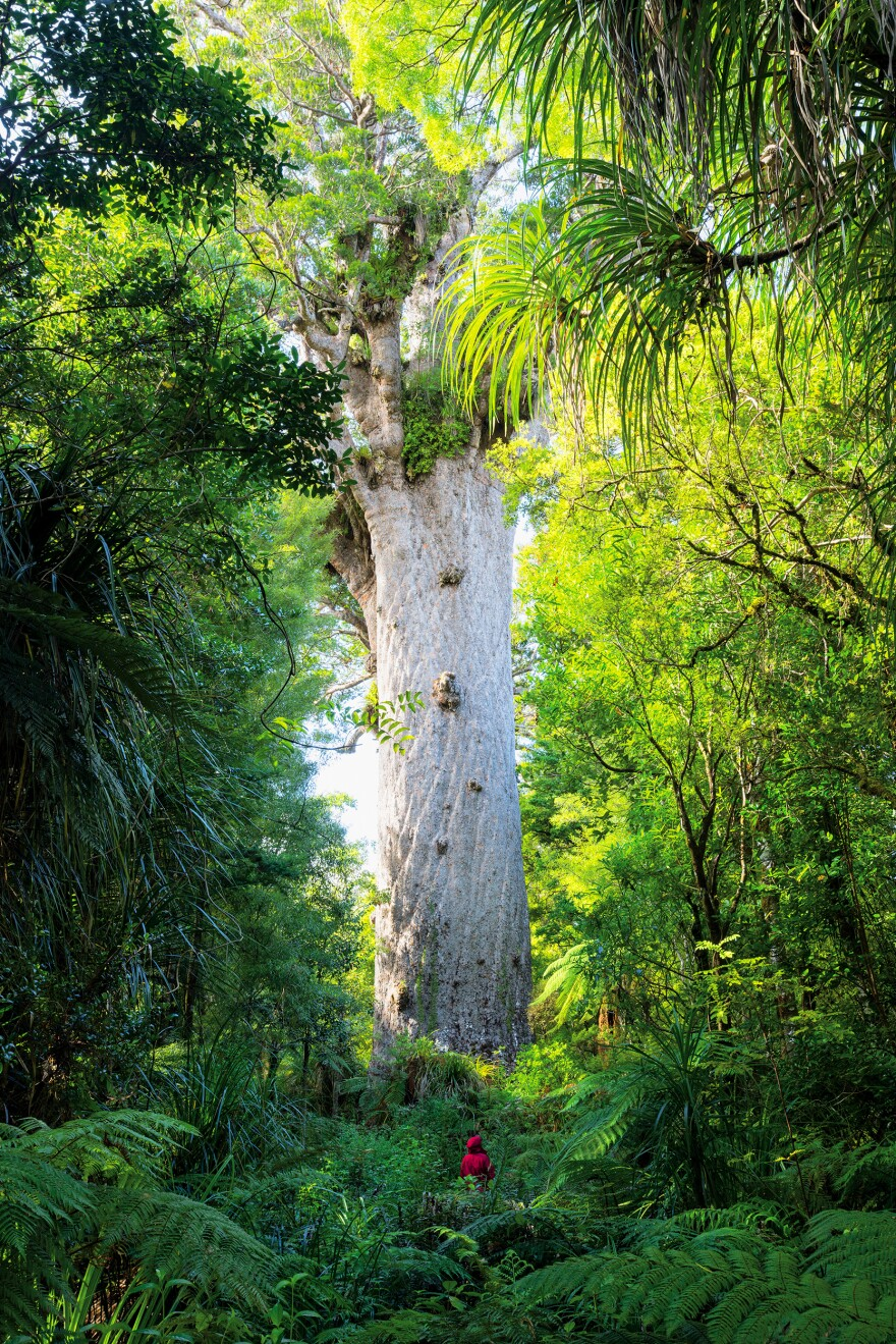 "This 170-foot-tall kauri tree is found in the remote Waipoua Forest of New Zealand and is sacred to the Maori people. ""Tane Mahuta [the tree's name] is translated as 'Lord of the Forest,'"" says Len Jenshel. ""We wanted to make the tree regal, like a lord."""