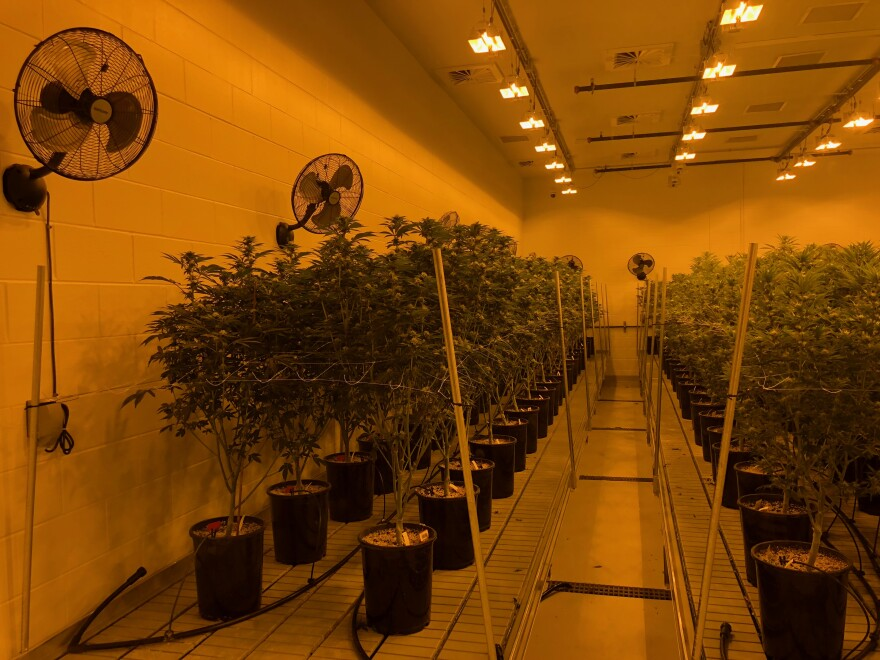 201912xx_Cannabis_Plants.JPG
