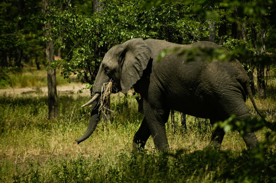 There are two kinds of elephants in Africa: the forest elephant and the savanna elephant (above), photographed this past spring in Liwonde National Park in Malawi. The Great Elephant Census found that Africa's savanna elephant population decreased by about a third in the seven years between 2007 and 2014.