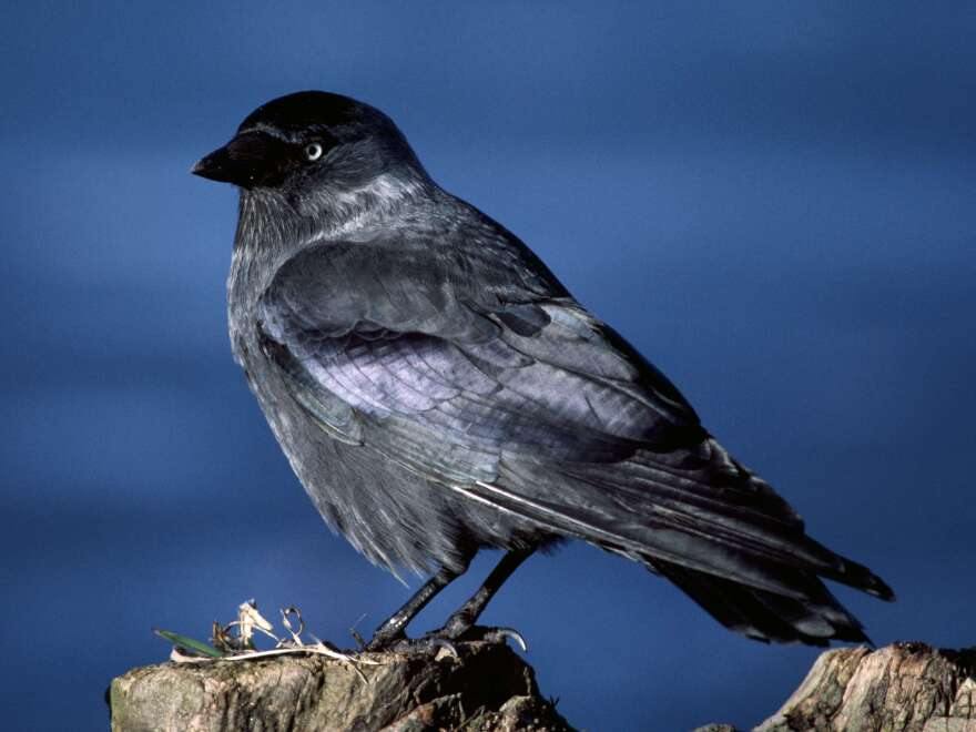 "A jackdaw has ""a distinctive silvery sheen to the back of its head,"" according to <a href=""https://www.rspb.org.uk/discoverandenjoynature/discoverandlearn/birdguide/name/j/jackdaw/index.aspx"">The Royal Society for the Protection of Birds</a>."