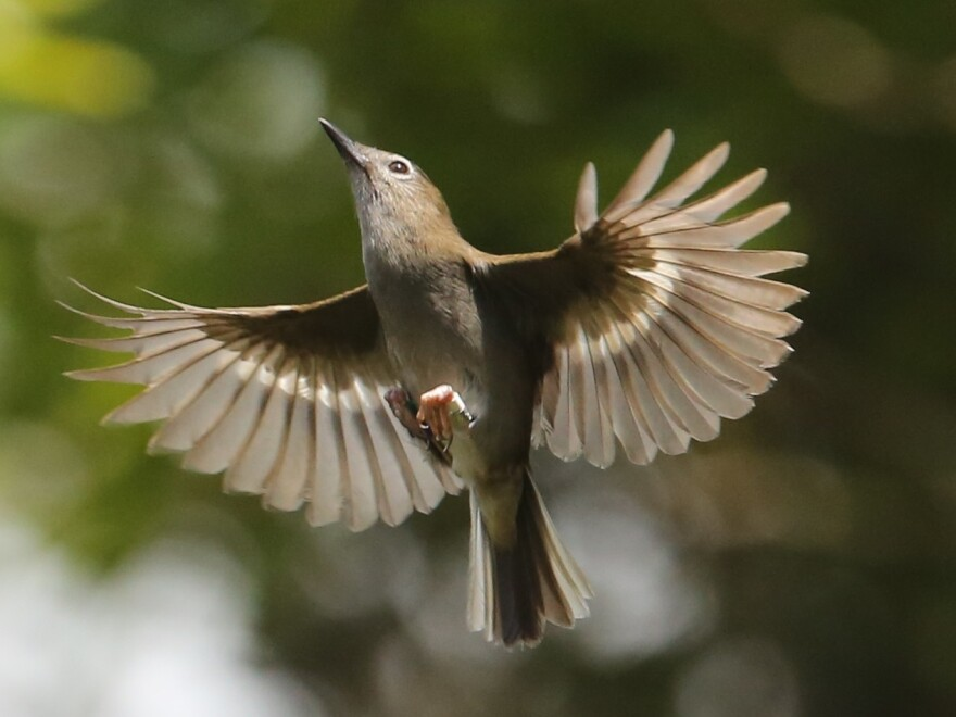Fewer than 500 puaiohi birds remain in the forest. The bird plays a vital role in maintaining the ecosystem of the island's forest.